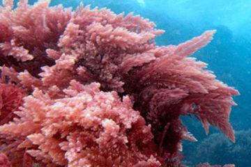 Tổng quan về tảo đỏ